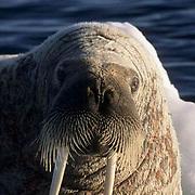 Walrus, (Odobenus rosmarus) Male rests on iceberg. Baffin Island. Canada.