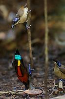 Wilson's Bird of Paradise (Cicinnurus respublica)..Batanta Island, Papua, Indonesia.
