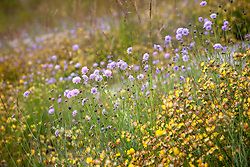 Field Scabious and Kidney Vetch at Magdalen Hill Down Butterfly Nature Reserve. Knautia arvensis, Anthyllis vulneraria