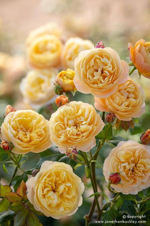 Rosa 'Roald Dahl' syn. Ausowlish