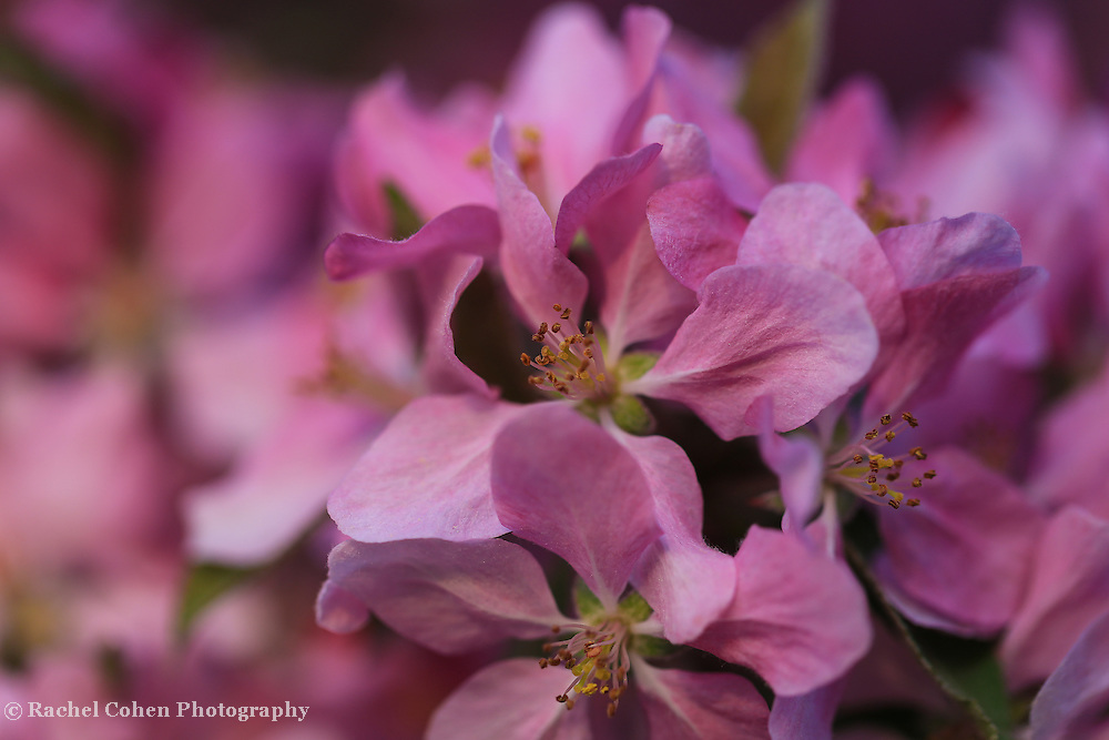 """""""Feel the Love""""<br /> <br /> Simply scrumptious deep pink crab-apple blossoms in spring!"""