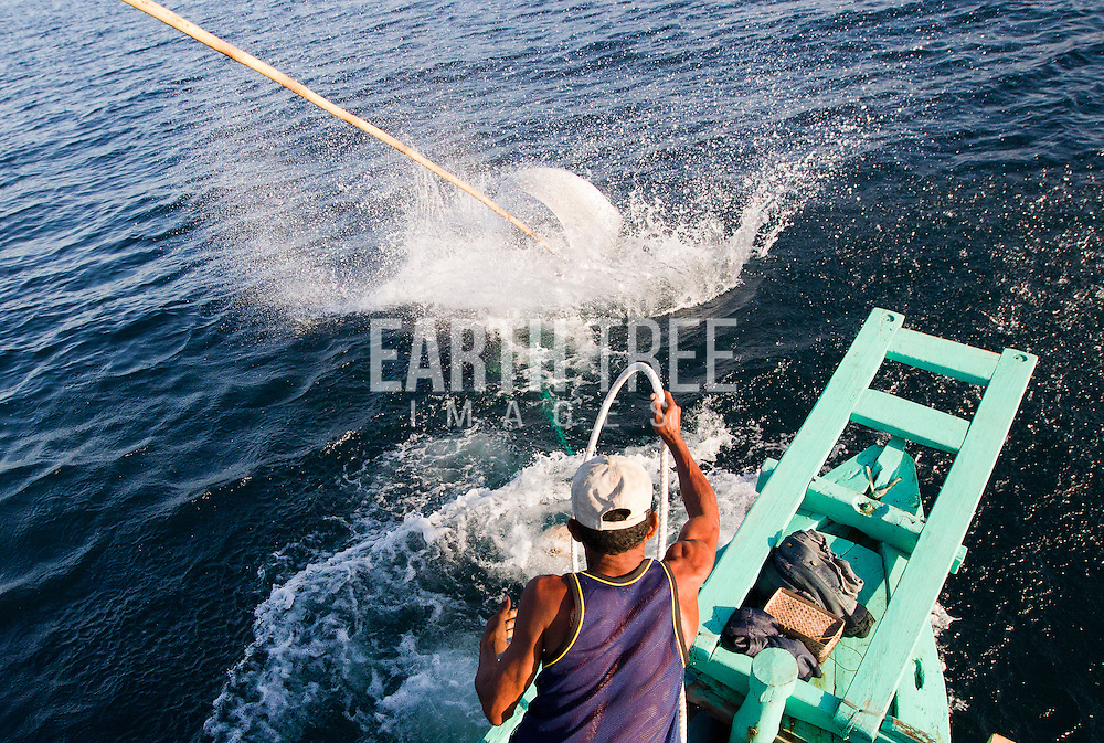 A large manta ray is pulled up along side of a boat after it's been speared for it's gills and meat in Indonesia. Photo: Paul Hilton for Manta Ray Of Hope