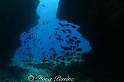 surgeonfish school in the opening of an underwater lava tube passageway at Niihau Arches dive site, Niihau Island, off Kauai, Hawaii USA ( Central Pacific Ocean )