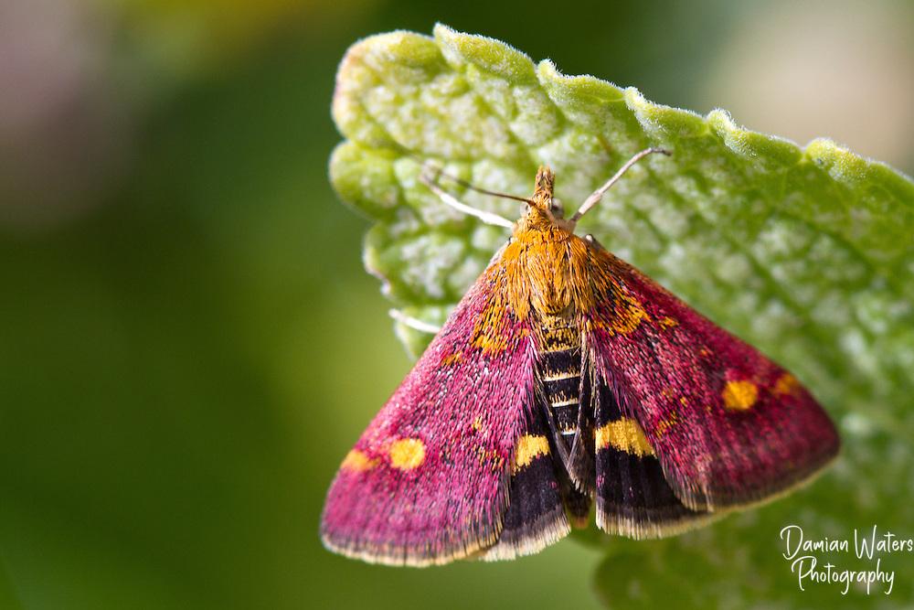 Mint Moth, Pyrausta aurata, showing in sunlight, Wirral - July