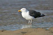 Great Black-backed Gull - Larus marinus - breeding adult