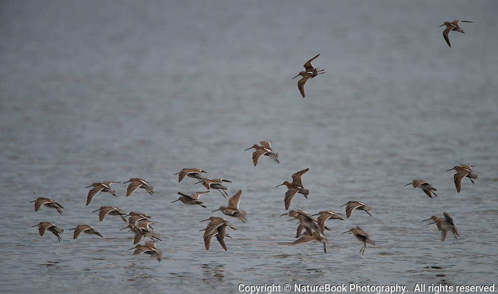 A group of shorebirds prepares to land as it moves among the lakes at Merritt Island National Wildlife Refuge in Florida, adjacent to the Kennedy Space Center.