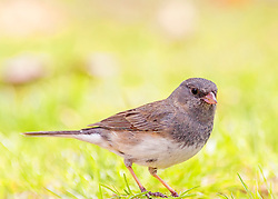 A Dark-Eyed Junco in harsh light gives me a pose