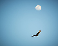 Turkey Vulture soaring under the Moon in Big Cypress Swamp. Image taken with a Nikon D3s camera and 70-200 mm f2.8 lens (ISO 200, 200 mm, f/2.8, 1/2000 sec).