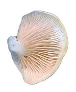 peeling oysterling<br /> Crepidotus mollis