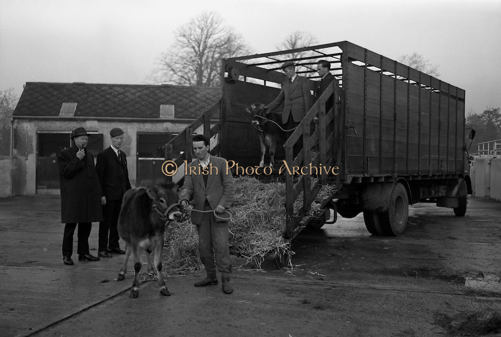 Pedigree calves at Thorndale, Drumcondra..1964..18.12.1964..12.18.1964..18th December 1964..Image shows the arrival of the calves at the Farm at Thorndale in Drumcondra, Co Dublin