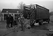 1964 - Pedigree calves at Thorndale, Drumcondra.  C447.