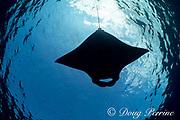 reef manta ray, Manta alfredi, feeding on plankton in surface slick, off Mahaiula, Kona Coast, Hawaii Island ( the Big Island ), Hawaiian Islands, USA ( Central Pacific Ocean )