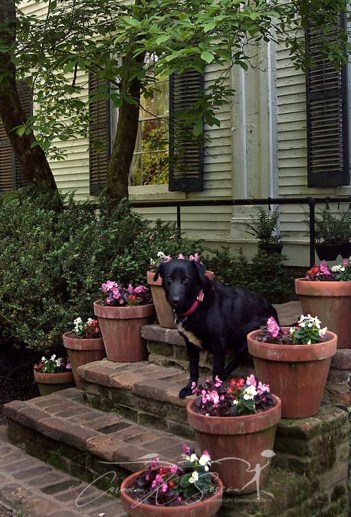 Pots of begonias - and the family dog - greet visitors to Waverly Mansion in Columbus, Miss. April 20, 2010. The 1852 mansion was among nearly two dozen historic homes on tour during Columbus' annual Spring Pilgrimage. (Photo by Carmen K. Sisson/Cloudybright)
