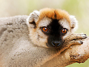 A Red Fronted Brown Lemur at the Kirindy Mitea National Park, Madagascar