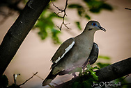White-Winged Dove in Clayton, New Mexico