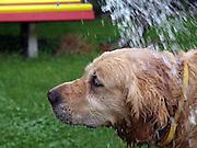 Golden Retriever Lemmy erhält bei tropischen Temperaturen ein Abkühlung mit der Gießkanne. Der Golden Retriever ist ein intelligenter, freudig arbeitender Hund, dem auch extreme, nasskalte Witterungsbedingungen nichts ausmachen. Dem steht allerdings eine relativ starke Empfindlichkeit hinsichtlich hoher Temperaturen gegenüber. Grundsätzlich ist die Rasse ruhig, geduldig, aufmerksam und niemals aggressiv. <br /> <br /> Golden Retriever Lemmy getting a shower during a day with tropical temperatures.