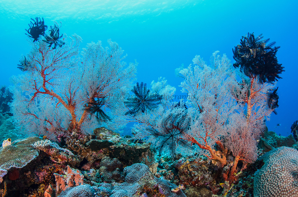 Very Spiny Feather Star (Colobometra perspinosa) on Gorgonia Sea Fan<br /> Cenderawasih Bay<br /> West Papua<br /> Indonesia