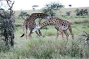 Africa, Tanzania, Serengeti National Park a herd of Masai Giraffe (Giraffa camelopardalis)