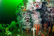 Giant Plumose Anemones, Metridium giganteum, cover the superstructure of the HMS Saskatchewan offshore Nanaimo, Vancouver Island, British Columbia, Canada.