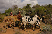 Traditional Zebu (ox) cart. Antandroy couple - wearing the local hats typical of the region. Spiny forest area of southern MADAGASCAR<br />  2005