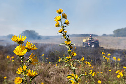 Smoke and fire of prescribed burn with maximilian sunflowers  on the Blackland Prairie at Clymer Meadow Preserve, Texas Nature Conservancy, Greenville, Texas, USA.