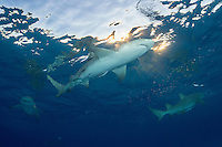 Lemon Sharks and late afternoon sunburst.<br /> <br /> Shot in Bahamas