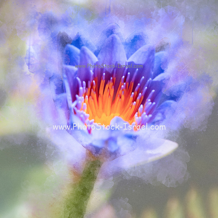 Digitally enhanced image of a water lily in a pond - close up