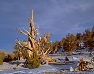 CAEWM_12 - USA, California, Inyo National Forest, Ancient Bristlecone Pine Forest Area, Evening light defines an old bristlecone pine at the Patriarch Grove in the White Mountains.
