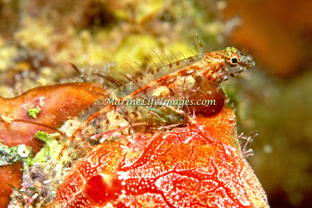 Southern Smoothhead Galss Blenny inhabit patch reefs, coral heads and rocky areas perching on coral and sponges in the southeastern Caribbean; picture taken St. Vincent.