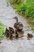 Female mallard duck with 14 newly hatched ducklings, Anas platyrhynchos, on a stream in springtime at Swinbrook, the Cotswolds, UK