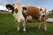 Zillertal, Tyrol, Austria Free grazing cow