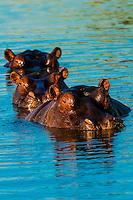 Three hippos in a row, near Kwara Camp, Okavango Delta, Botswana.