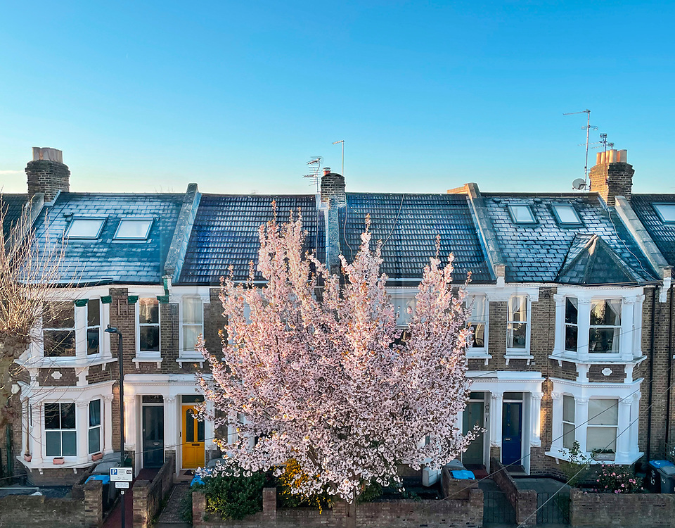 © Licensed to London News Pictures. 07/04/2021. London, UK. A cherry blossom tree stands in the early morning sunshine underneath frost covered roof tops and a clear blue sky, on a residential street in Kensal Green, west London, on a freezing spring morning. Large parts of the UK have experienced snow and freezing temperatures. Photo credit: Ben Cawthra/LNP