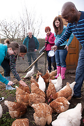 Feeding rescued battery chickens on an allotment.