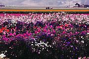 Sweet Pea Flowers: Lompoc, California.