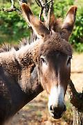 Domaine Peyre Rose, St Pargoire. Gres de Montpellier. Languedoc. France. Europe. Vineyard donkey.