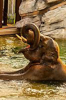 Elephant, Toyota Elephant Passage, Denver Zoo, Denver, Colorado USA