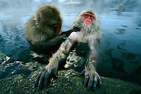 A snow monkey or Japanese macaque (Macaca fuscata) soaks in a hot spring pool while a companion grooms her.  Jigokudani, Nagano Pref., Japan...IUCN Red List:  Data Deficient..
