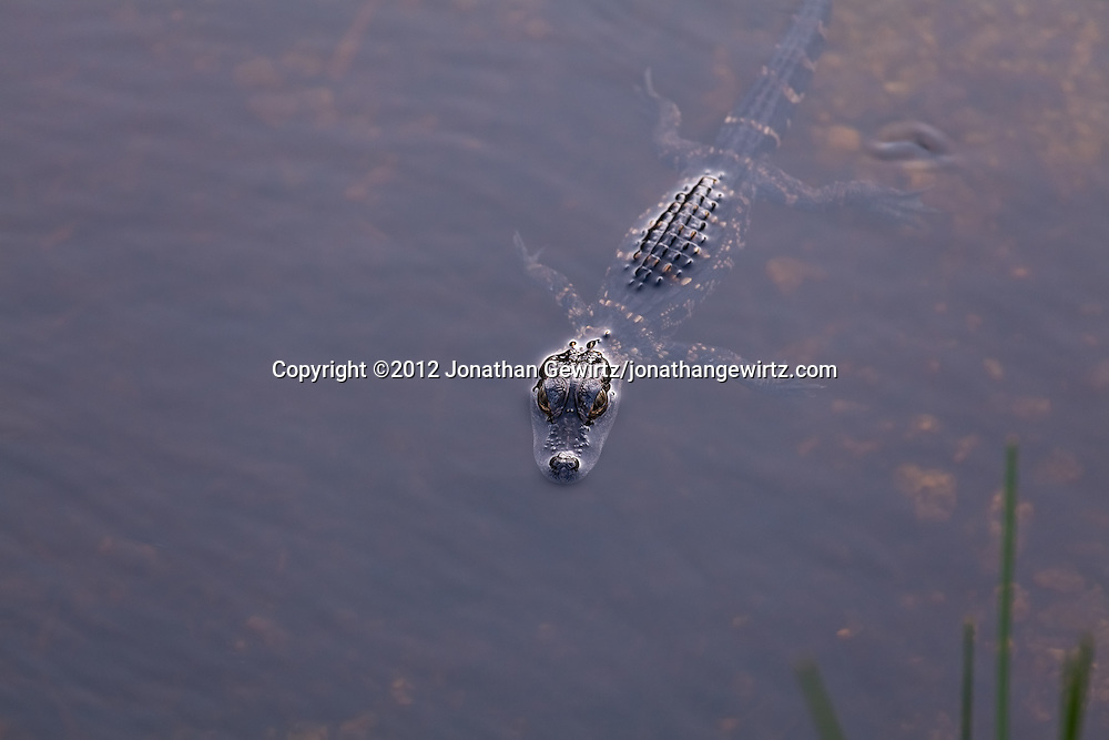 An immature American Alligator (Alligator mississippiensis) floats in shallow water near the Anhinga Trail in everglades National Park, Florida. WATERMARKS WILL NOT APPEAR ON PRINTS OR LICENSED IMAGES.