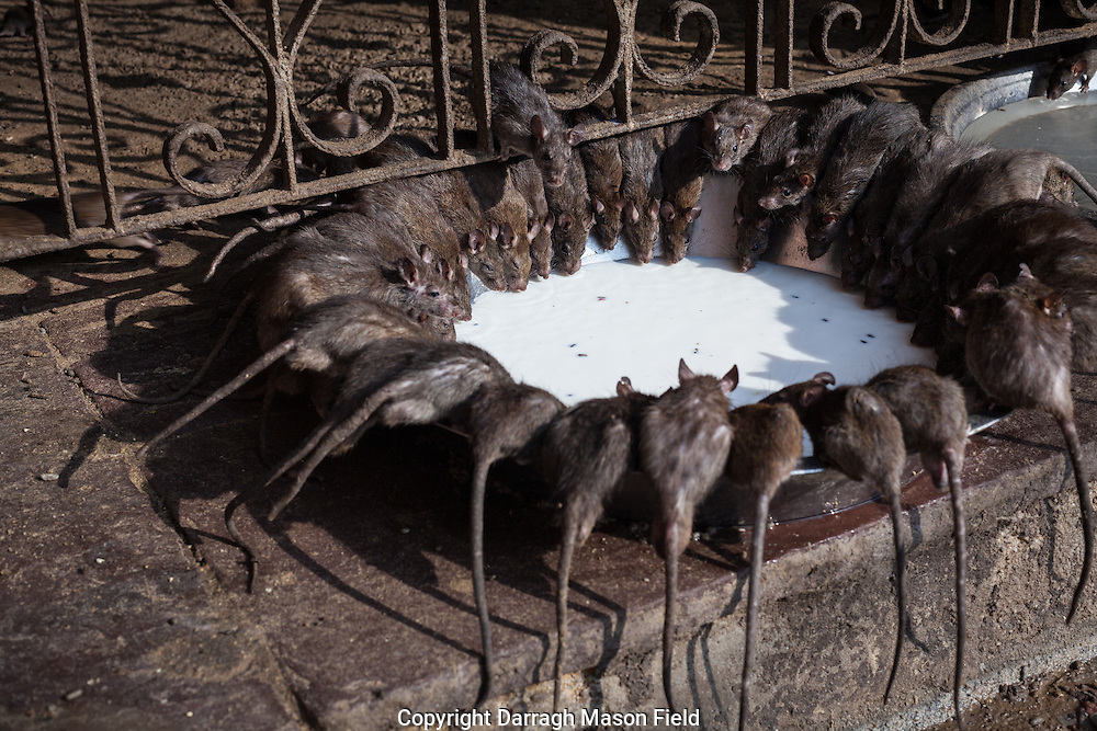 Karni Mata Temple is a famous Hindu temple dedicated to Karni Mata at Deshnoke, 30km from Bikaner, in Rajasthan, India. It is also known as the Temple of Rats.<br /> These holy rats are called kabbas, and many people travel great distances to pay their respects.