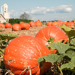 Bird-in-Hand, PA, USA - September 15, 2014: Pumpkins ready for harvest in a Lancaster County farm field.