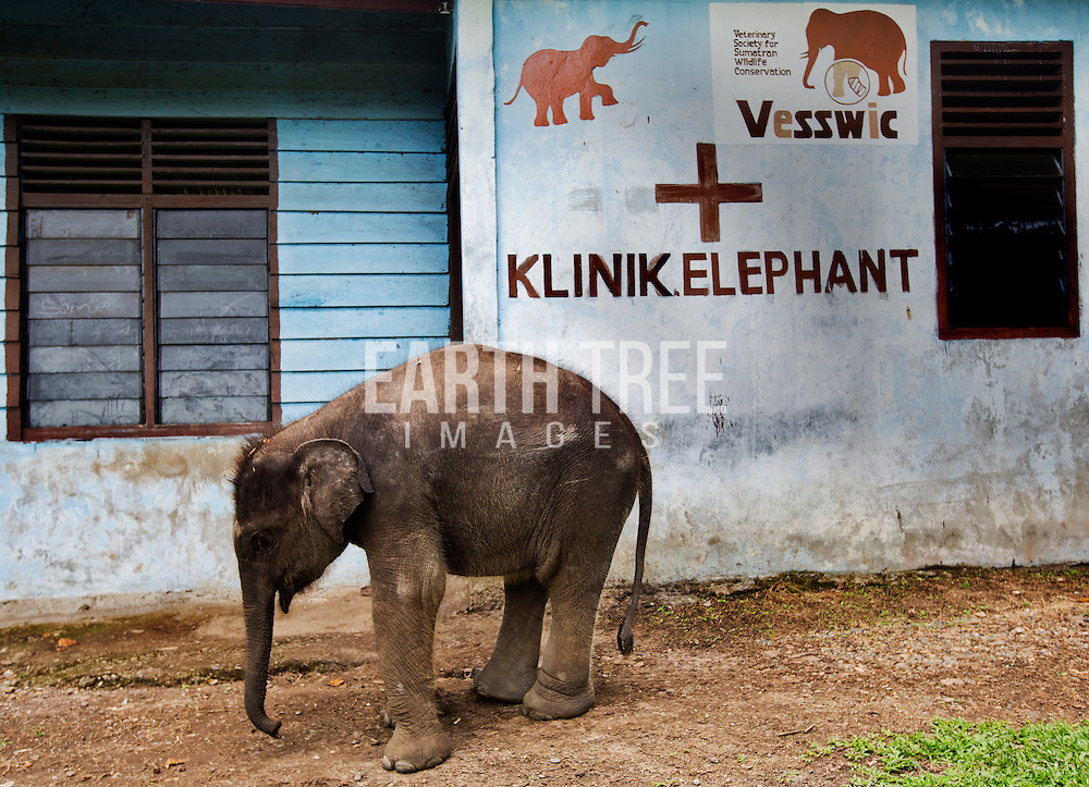 Agum, an orphaned Sumatran elephant waits for his midday meal of soya milk supplements after his mother was poisened on a palm oil plantaion in Tamiang late last year. Saree, Aceh, Sumatra. Photo: Paul Hilton/ Earth Tree ( no archives, no resales, one time use only )