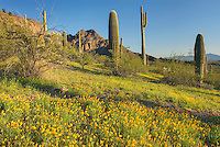 Mountain slope with blooming with Poppies, Organ Pipe Cactus National Monument Arizona