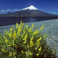CHILE, Lakes District. Wild lupine beside Lake Llanquihue. Mt.Osorno bkg.