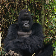 Male silverback mountain gorilla in Volcanoes National Park Rwanda, Africa.