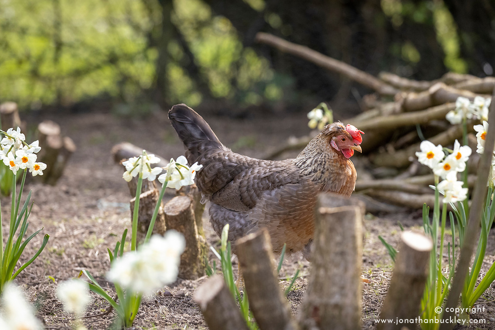 Hens amongst Narcissus 'Cragford'