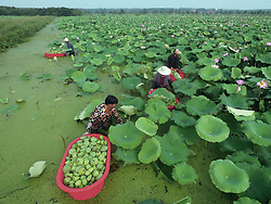 LINYI, Aug. 1, 2018 - Linyi, China -  Farmers harvesting lotus seedpods in Tancheng County of Linyi City, east China's Shandong Province. A lotus seed or lotus nut is the seed of a plant in the genus Nelumbo, particularly the species Nelumbo nucifera. The seeds are used in Asian cuisine and traditional medicine. Mostly sold in dried, shelled form, the seeds contain rich contents of protein, B vitamins, and dietary minerals. (Credit Image: © Fang Dehua/Xinhua via ZUMA Wire)