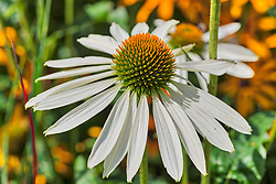Close-up of white cone flower blooming outdoor, Berlin, Germany