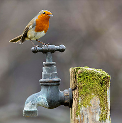 As the current cold snap bites Scotland please remember that garden birds need regular food and water to see them through this cold snap. Images of a robin from a garden in Oban.ÉÉ.. (c) Stephen Lawson | Edinburgh Elite media