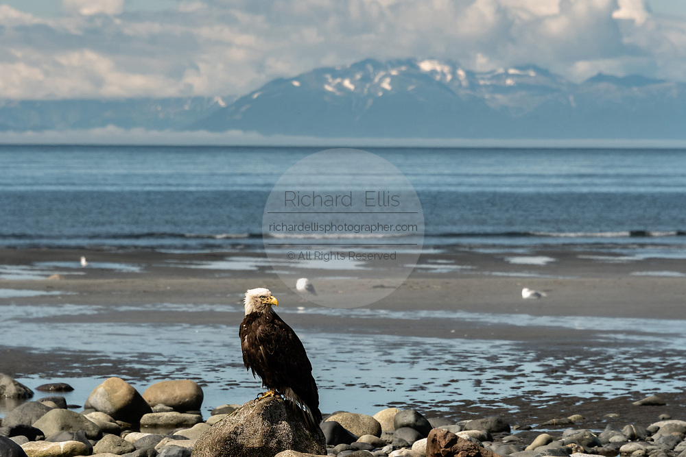 An adult bald eagle perched on a rock looking toward the Chigmit Mountains along the beach on the Cook Inlet at Anchor Point, Alaska.